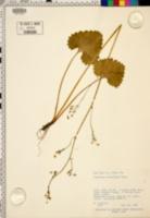 Micranthes odontoloma image