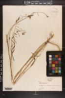Borodinia canadensis image
