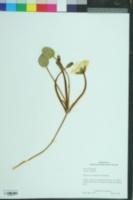 Hydrocleys nymphoides image