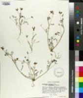 Image of Astragalus rattanii