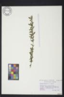 Image of Serissa japonica