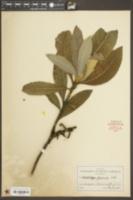Eriobotrya japonica image