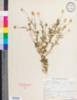 Chamaemelum nobile image