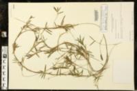 Luziola fluitans image