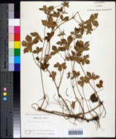 Image of Geranium thunbergii