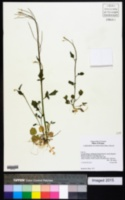 Image of Cardamine occidentalis