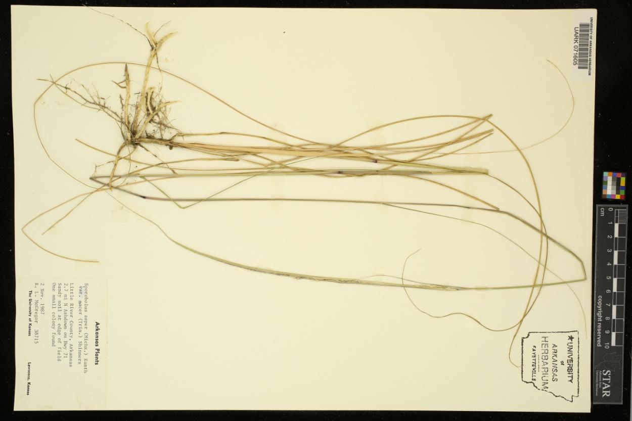 Sporobolus macer image
