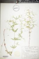 Image of Galium arkansanum
