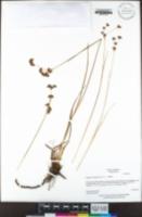 Juncus howellii image