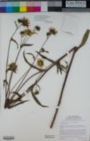 Helianthus inexpectatus image