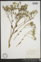 Image of Cacalia floridana