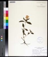 Image of Ruellia parviflora