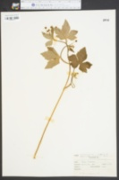 Ranunculus recurvatus image