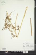 Scirpus longii image