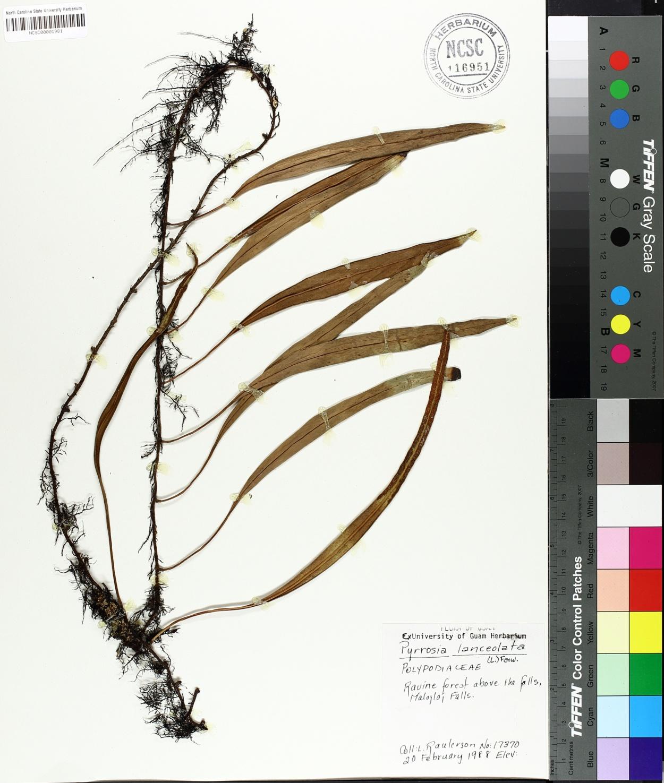 Pyrrosia lanceolata image