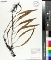 Image of Pyrrosia lanceolata