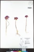 Allium dichlamydeum image