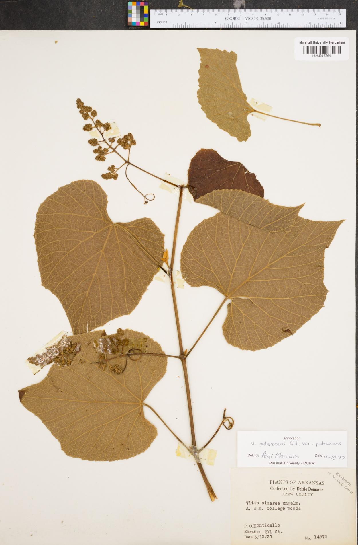 Vitis pubescens image
