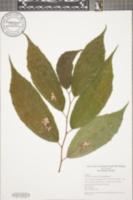 Image of Goethalsia meiantha