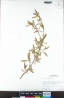 Salix gooddingii image