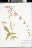 Penstemon floridus var. austinii image