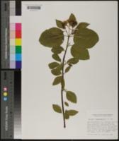 Cornus x californica image