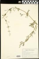 Galium aparine image