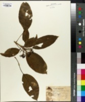 Image of Dendropanax cuneatus