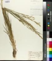 Image of Agrostis castellana