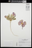 Oenothera deltoides image