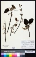 Image of Aristotelia serrata