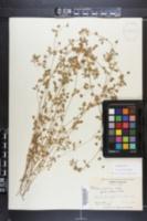 Trifolium dubium image