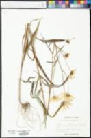 Helianthus angustifolius image