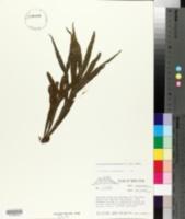 Image of Pleopeltis christensenii