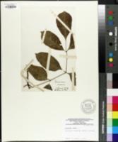 Fraxinus ornus image