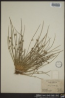 Schoenoplectiella smithii image