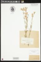 Image of Scutellaria floridana