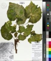 Image of Begonia sericoneura