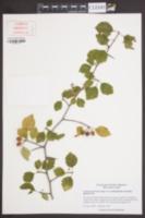 Crataegus aemula image