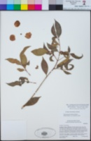 Syzygium australe image
