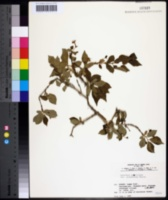Image of Lonicera gracilipes