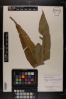 Image of Asplenium serratum
