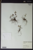 Doryopteris triphylla image