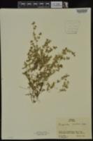 Euphorbia serpens image