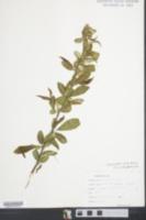 Chaenomeles sinensis image