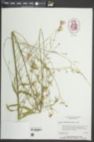 Oenothera lindheimeri image