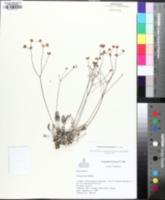 Image of Eriogonum batemanii