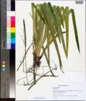 Image of Carex strigosa