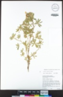 Lupinus dalesiae image