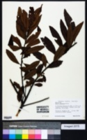 Image of Myrica pubescens